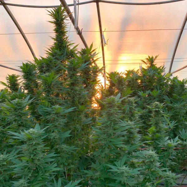 Midwest hemp flower grown in greenhouses
